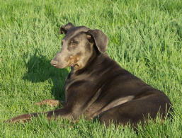 Doberman and his shadow.  Photo