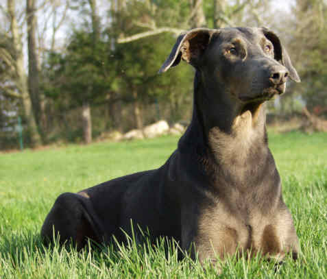 Healthy Dog Blue Doberman Petie Photo