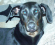 Blue Doberman Petie Photograph