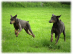 Petie and Greyson two dobermans running in the grass