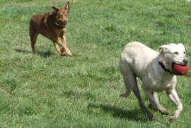 Hey!   Wait for me!   Nellie, mixed breed dog and  Labrador Retriever