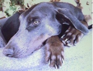 Blue Doberman Petie Photo