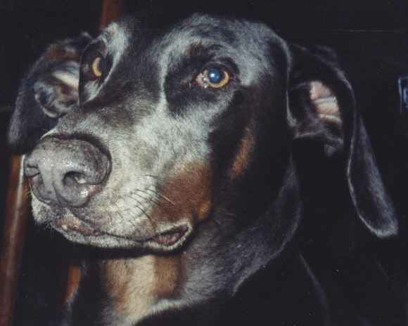 Blue Doberman Petie