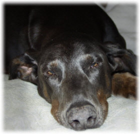 dog doberman Petie was adopted from the doberman rescue